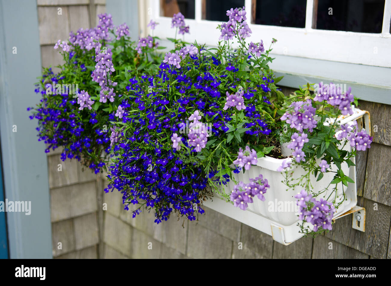 White window box with blue and purple flowers on a grey shingled building. - Stock Image