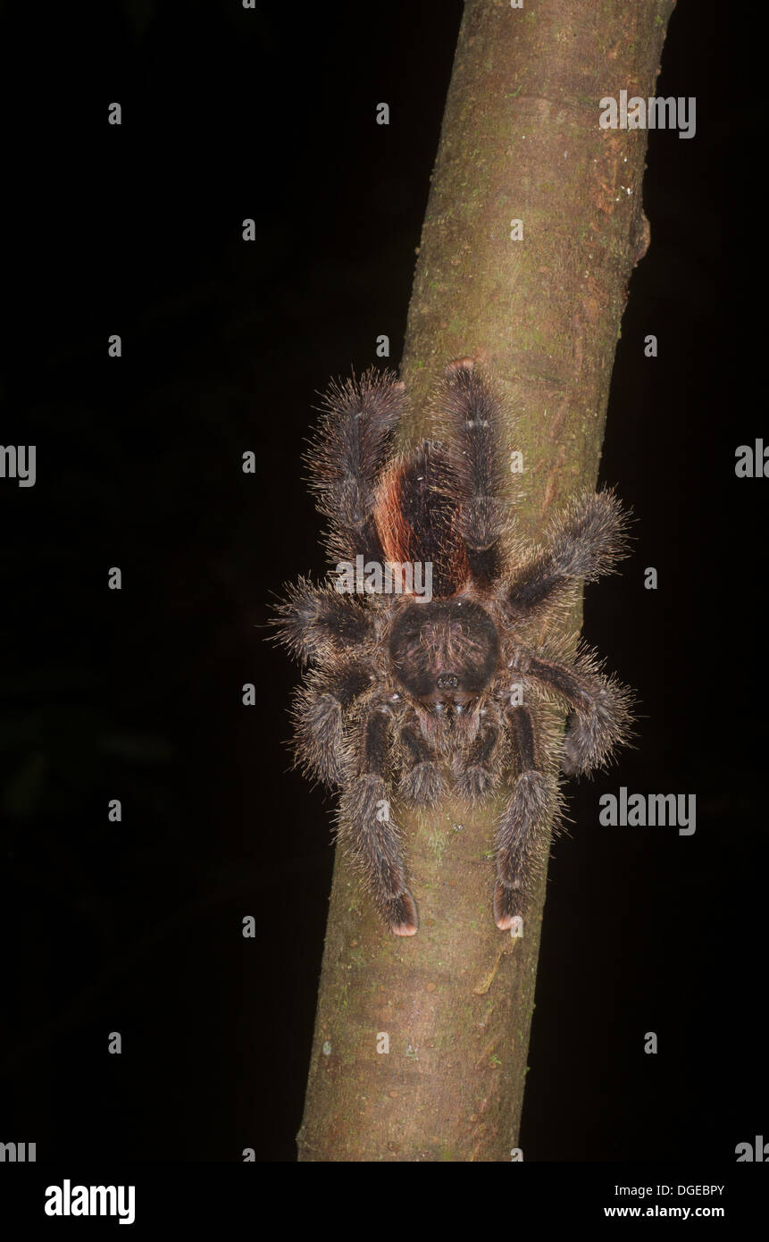 A Pink-toed Tarantula (Avicularia sp.) lurking on a branch in the Amazonian rainforest in Loreto, Peru. - Stock Image