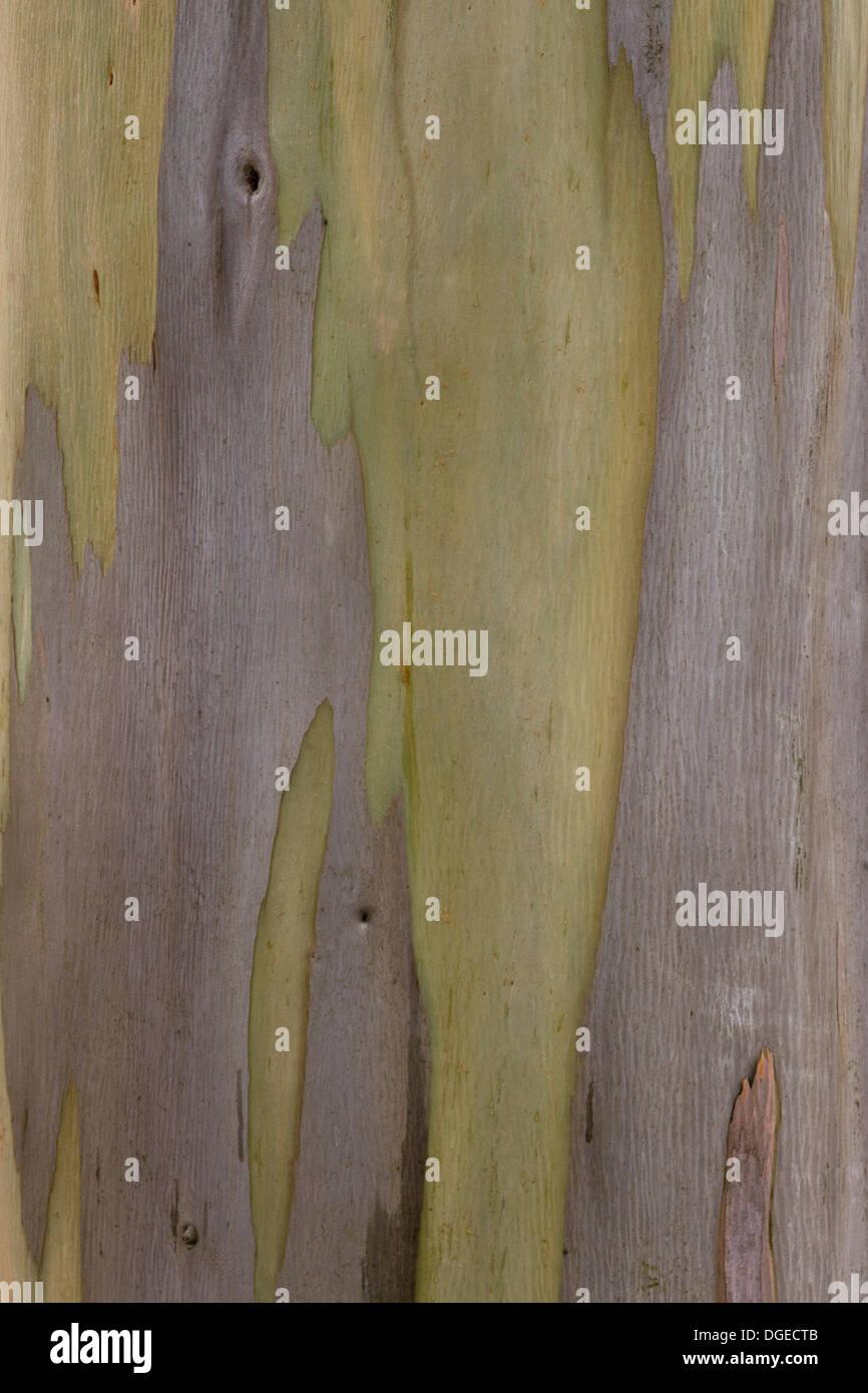 Eucalyptus Tree Close Up Eucalyptus regnans, - Stock Image