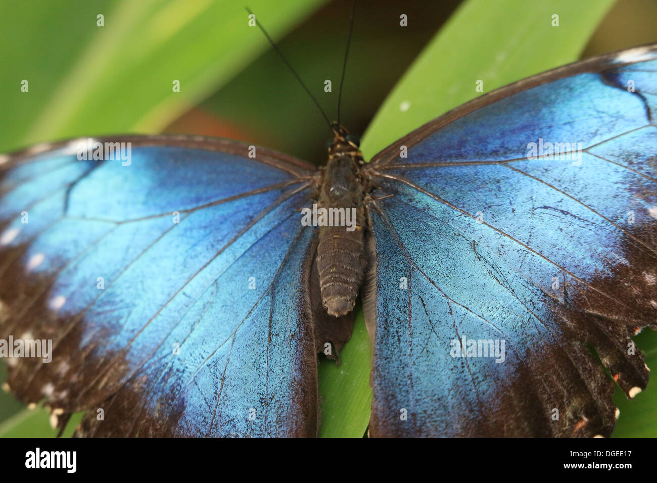 Blue Morpho (Morpho peleides) also known as Emperor Butterfly showing blue inner wings Stock Photo