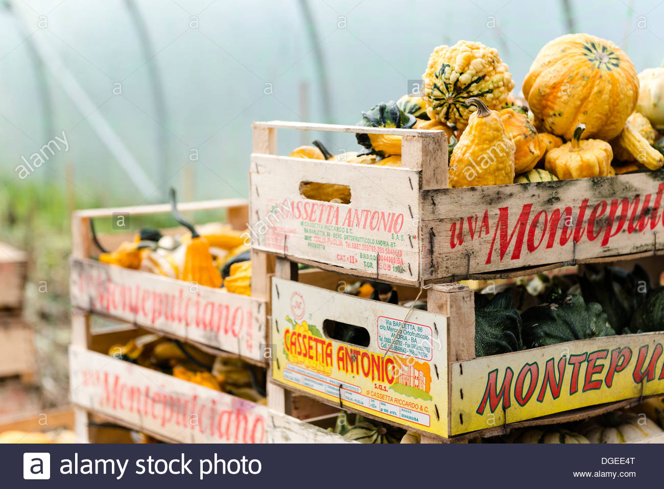 f09ebd29533 Ornamental gourds in crates in greenhouse at back of local farm shop ...