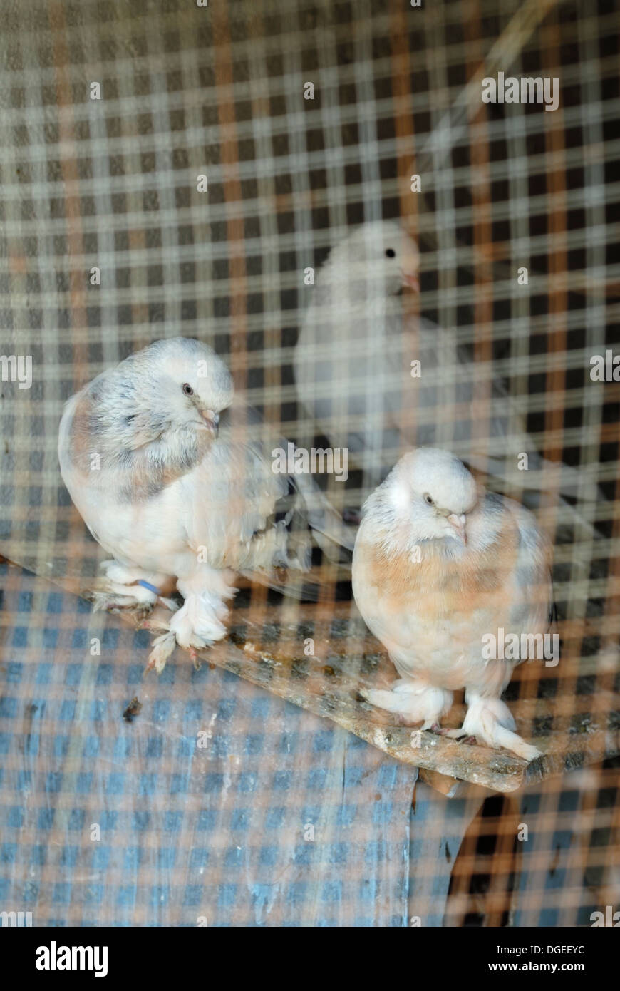 Three domestic pigeons in coop - Stock Image