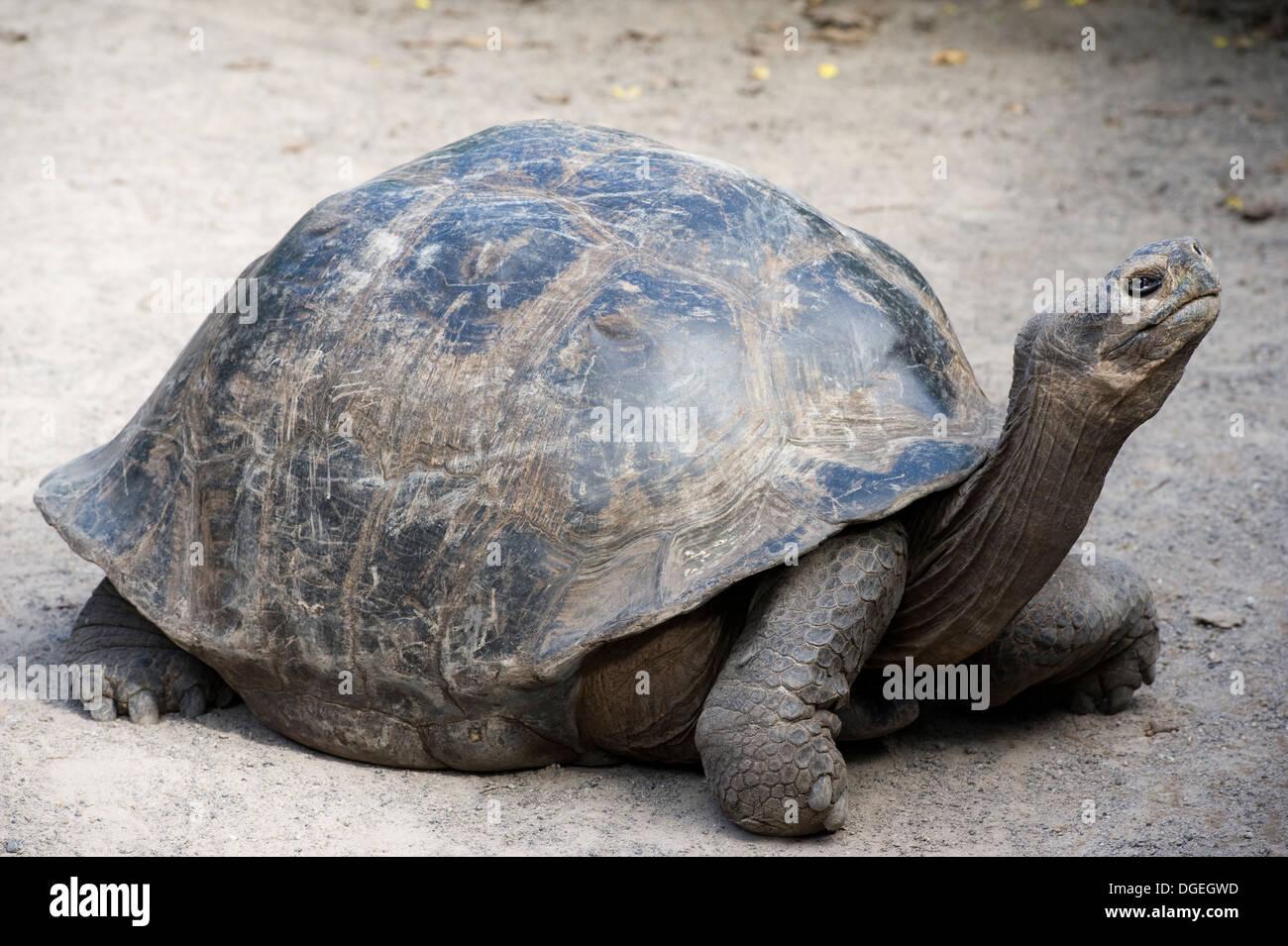 Giant tortoise Galapagos Islands Isabela Stock Photo