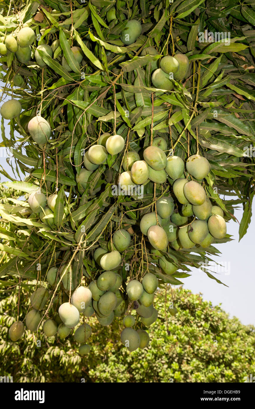 Mangoes Growing on Trees set between Cashew Nut Trees on a Cashew farm, near Sokone, Senegal - Stock Image