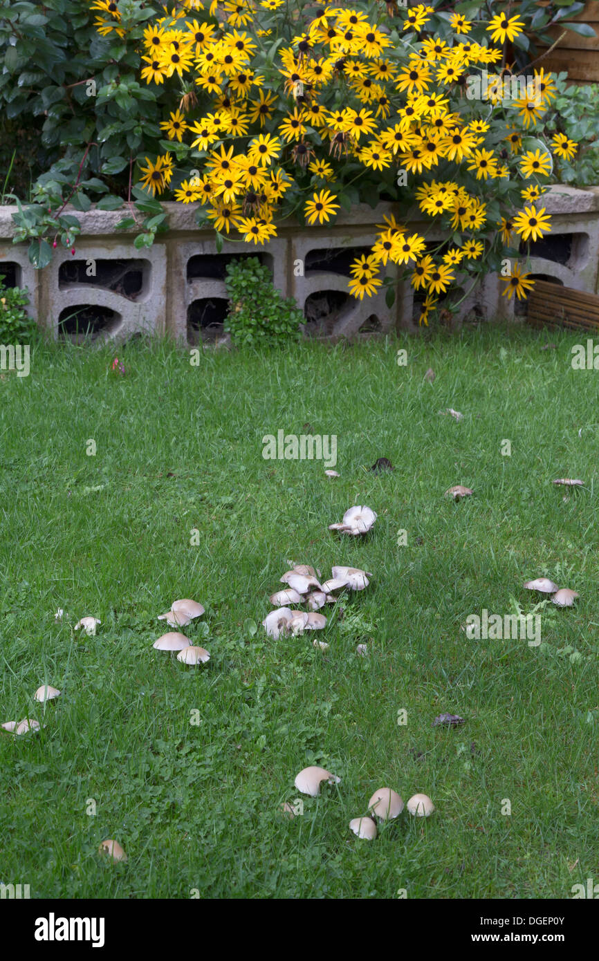 MUSHROOMS GROWING IN THE DAMP OF AUTUMN IN A LAWN - Stock Image