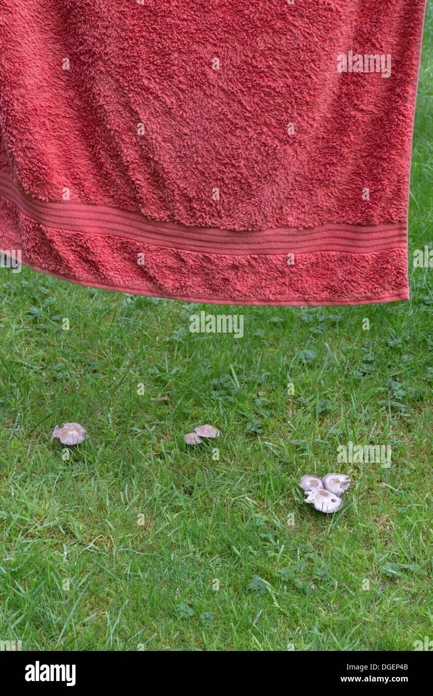 MUSHROOMS GROWING UNDER A TOWEL IN THE DAMP OF AUTUMN IN A LAWN - Stock Image