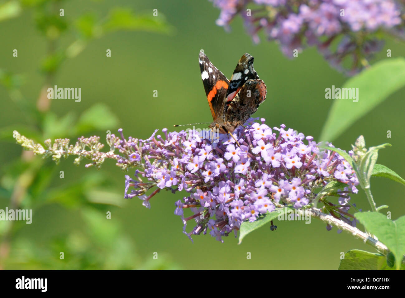Red Admiral Butterfly on Buddleia - Stock Image