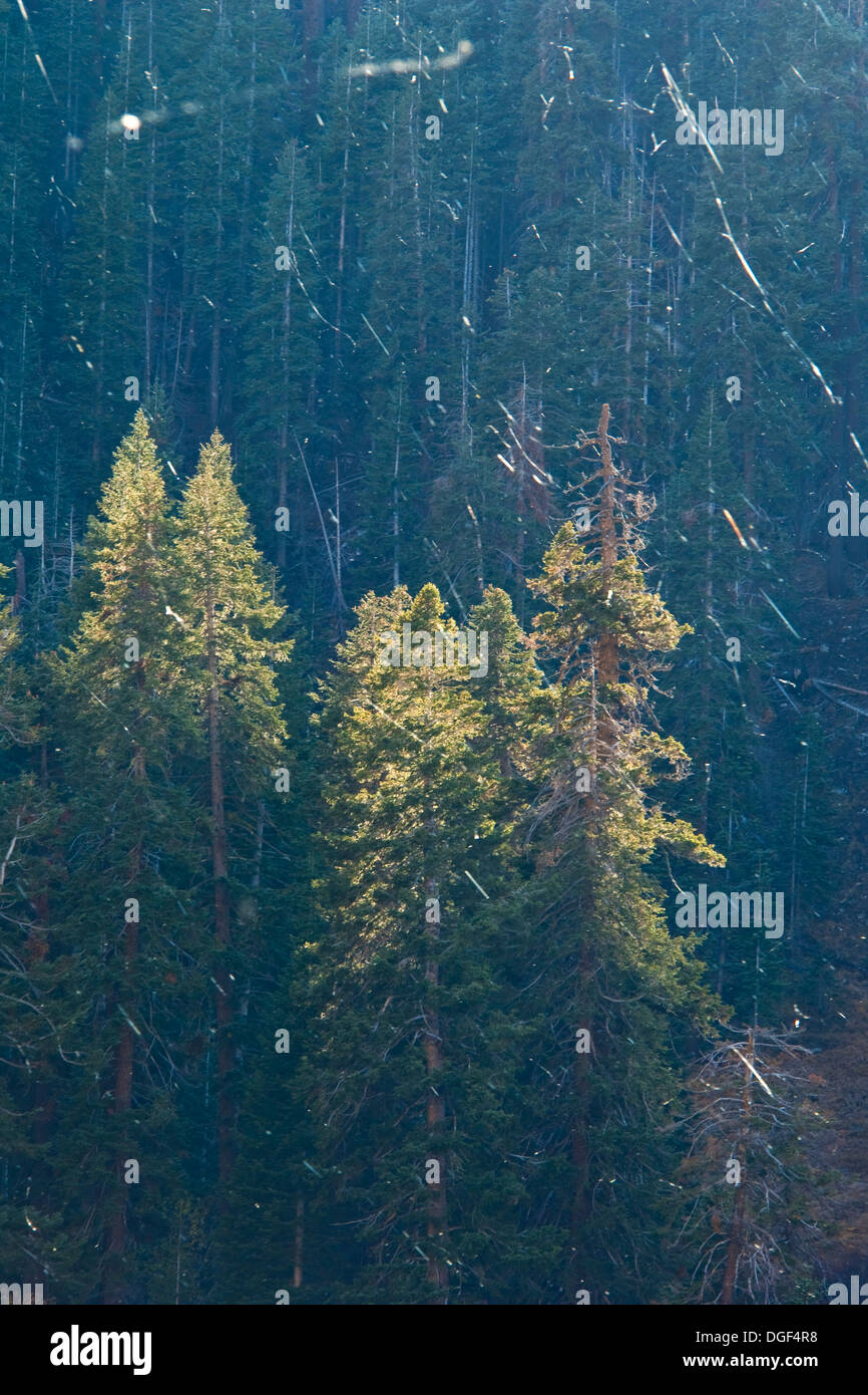 Raining spider webs, Mineral King, Sequoia National Park, California - Stock Image