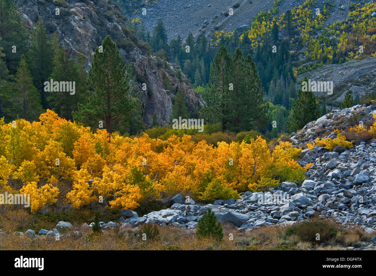 Aspen trees in fall near Tioga Pass, Mono County, California - Stock Image