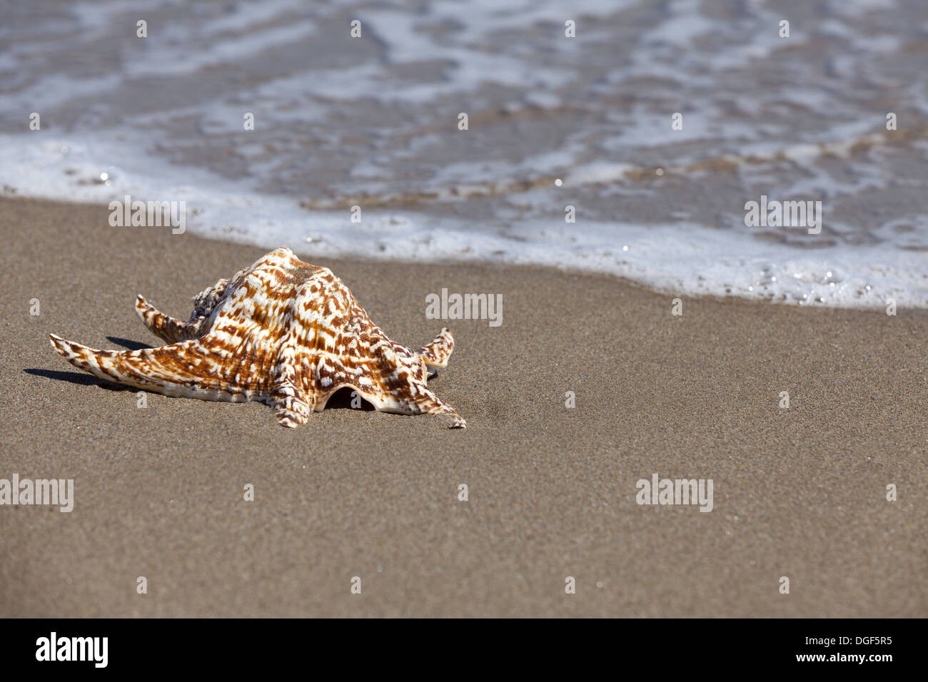 Single Conch Shell is lying flat in the Sand on the Beach and in the background flows seawater with Copy Space in the right part - Stock Image