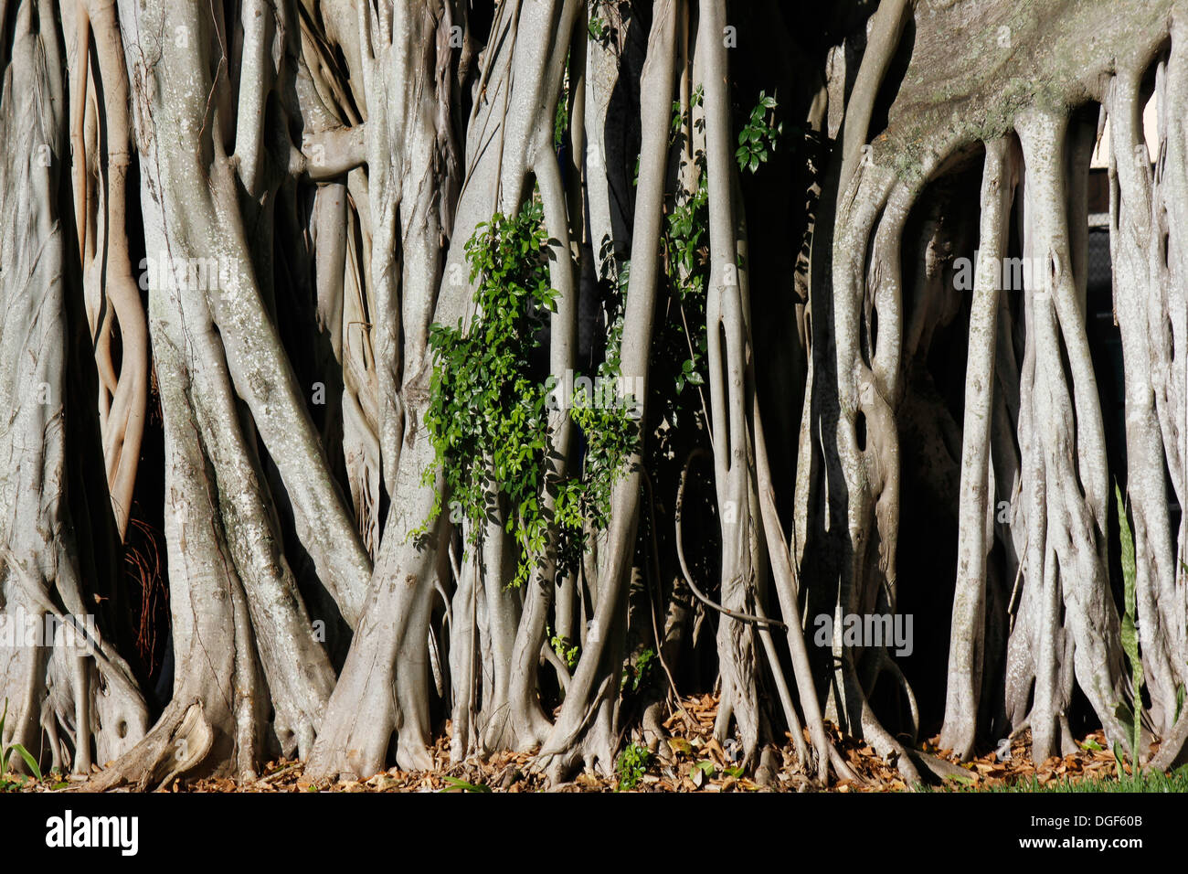 Close-up of the auxiliary roots of a banyan tree (Ficus, fig tree) - Stock Image