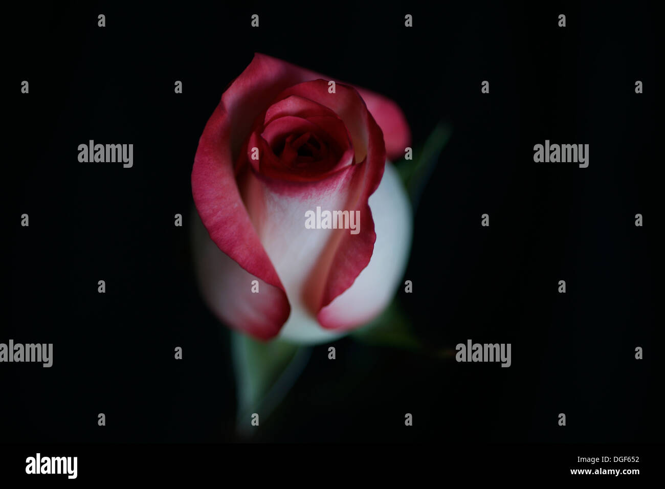 Macro shot of a two-tone blush rose bud against black background - Stock Image