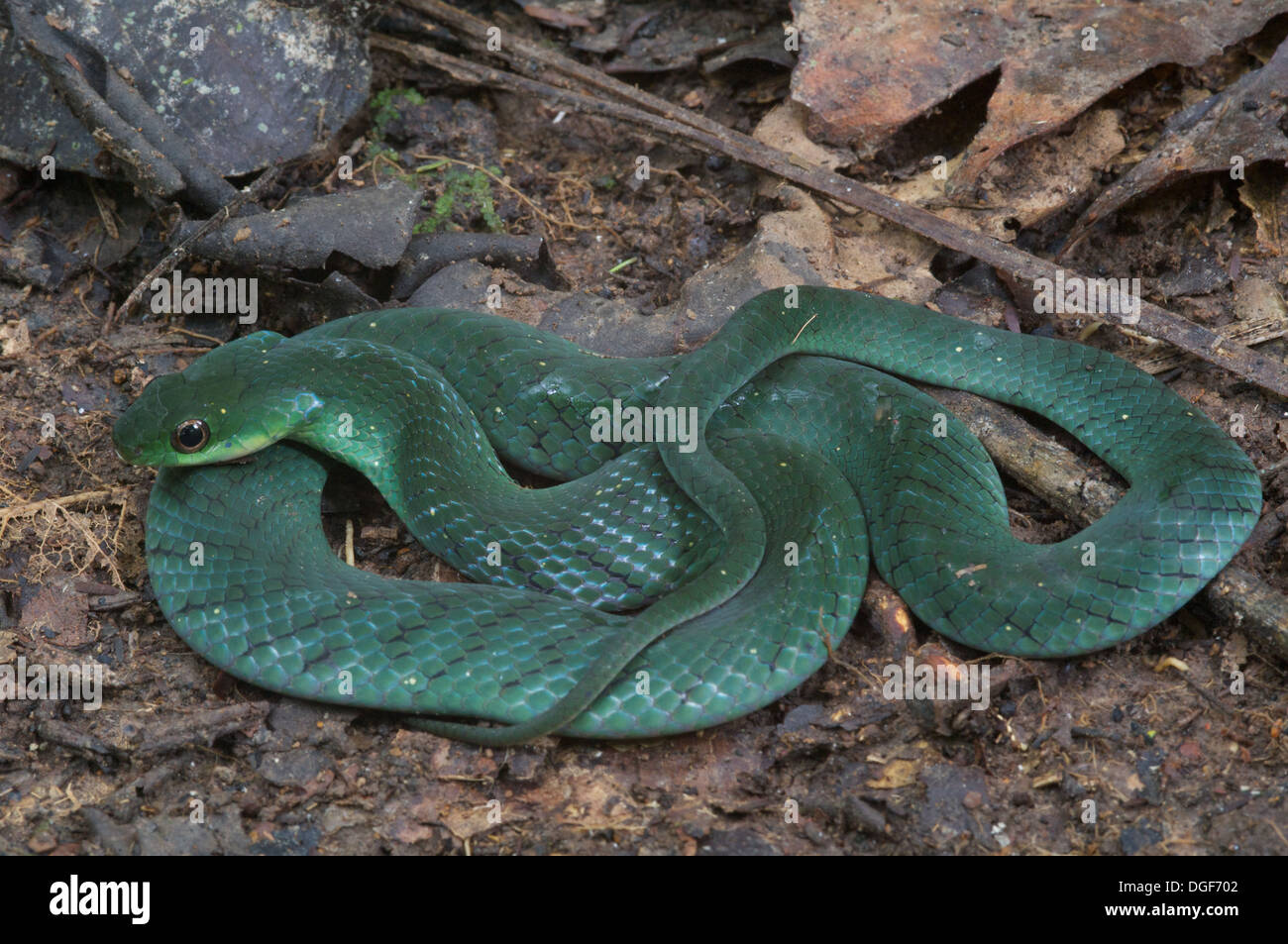 A Velvety Swamp Snake [Liophis typhlus typhlus] on the forest floor in the Amazonian rainforest in Loreto, Peru. - Stock Image