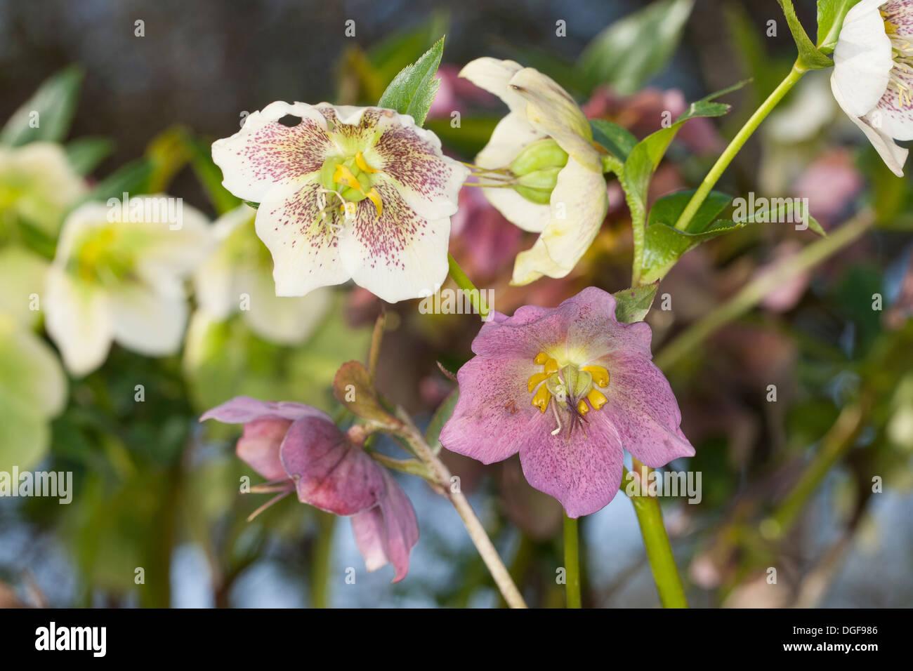 Christmas rose, black hellebore, Christrose, Schneerose, Weihnachtsrose, Schwarze Nieswurz, Helleborus niger Stock Photo