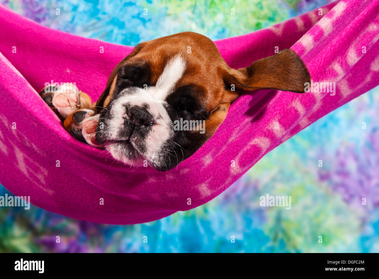 Boxer dog, puppy lying in a hammock - Stock Image
