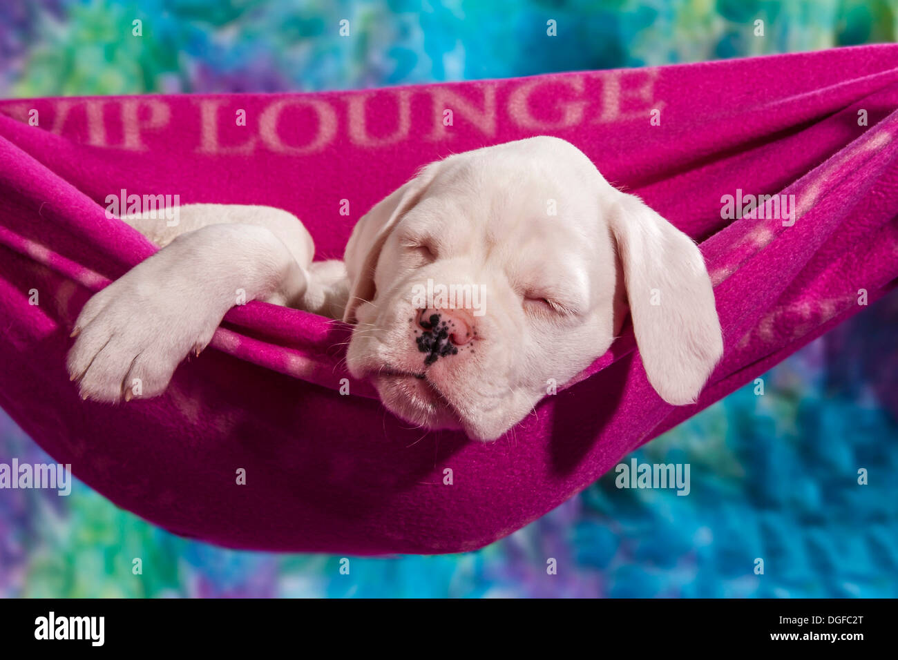Boxer dog, puppy sleeping in a hammock - Stock Image