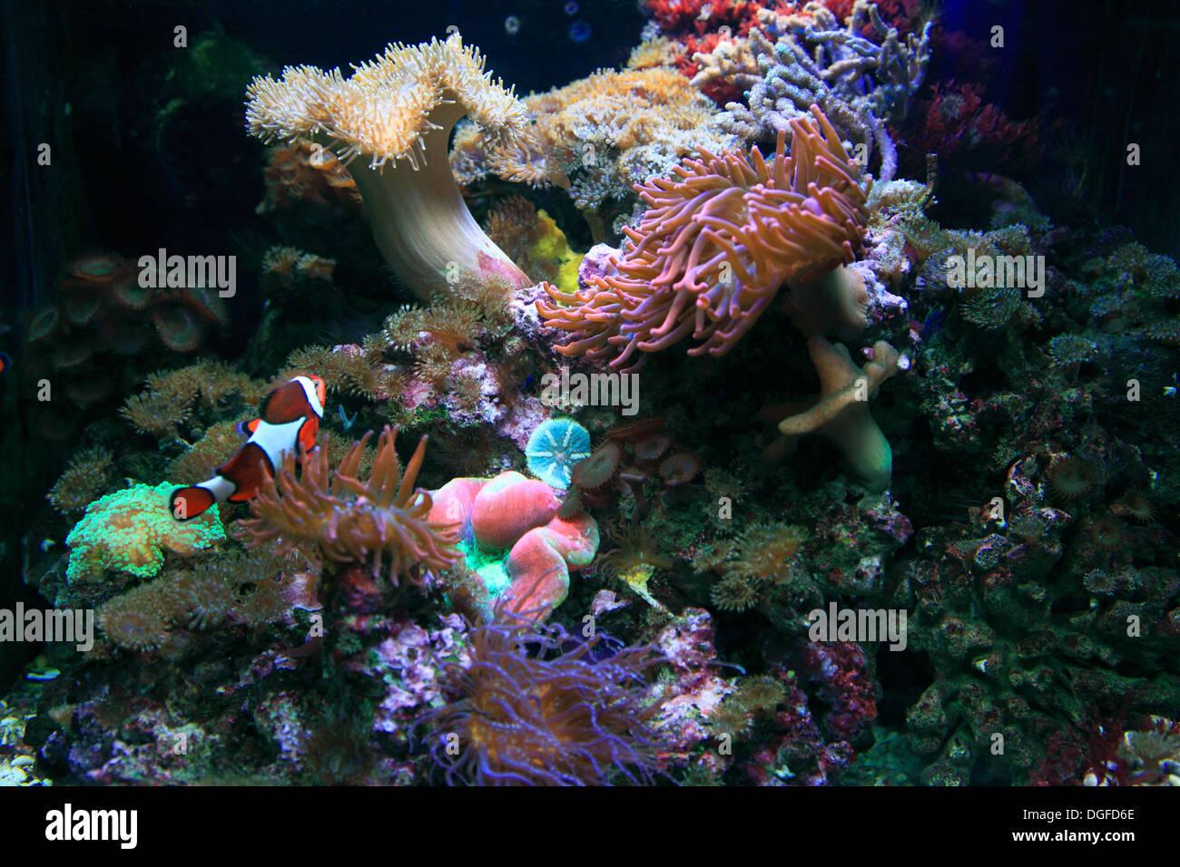 D-Oberhausen, Ruhr area, Lower Rhine, Rhineland, North Rhine-Westphalia, NRW, D-Oberhausen-Neue Mitte, Centro Park, Sea Life Adventure Park, Sea Life Center, aquarium, corals - Stock Image