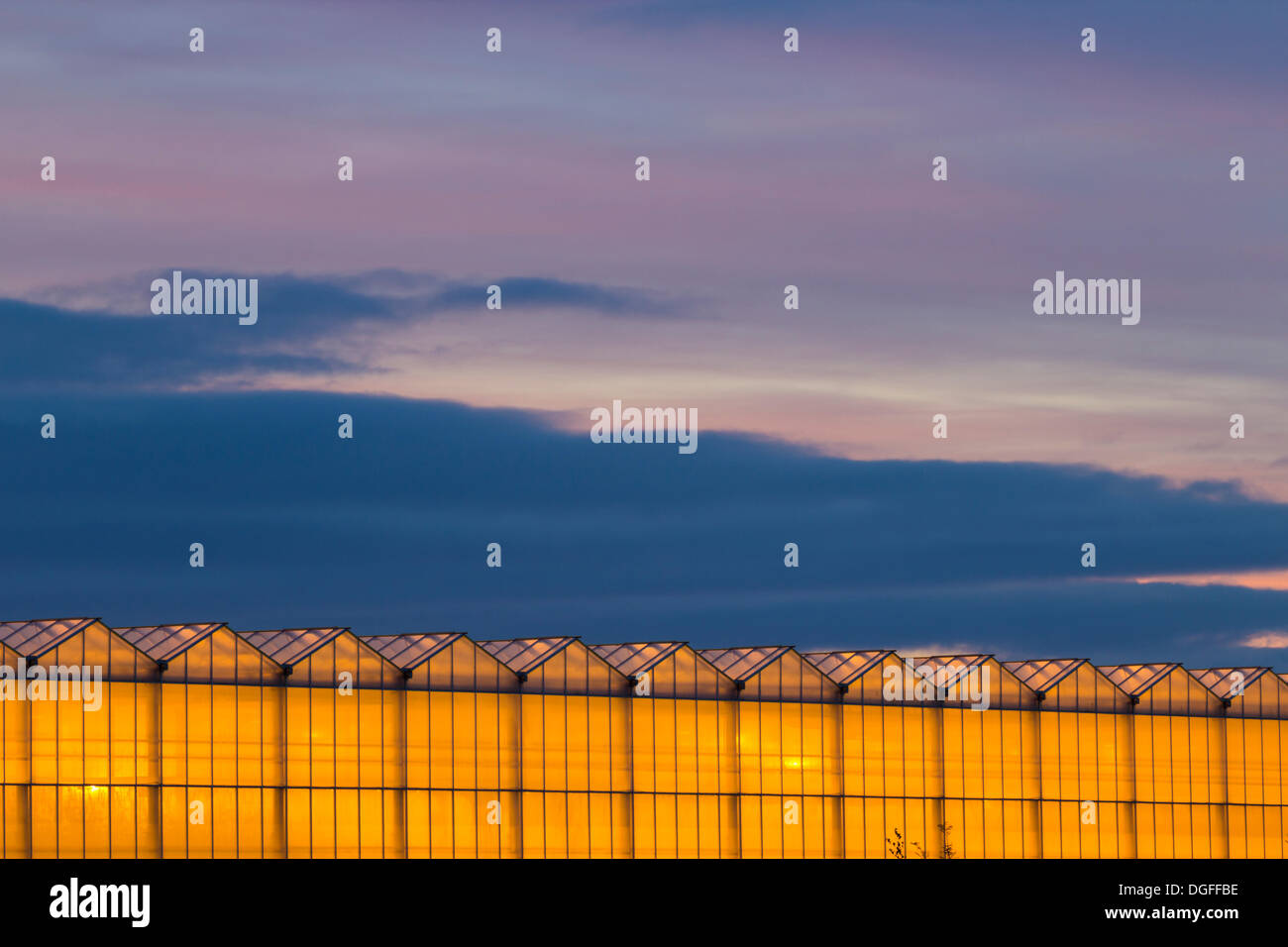 Billingham, Cleveland, UK. 21st, Oct, 2013. Pre sunrise sky over North Bank Growers greenhouses in Billingham. 38 acres (15ha) of greenhouses, heated by C02 and steam bi products from nearby fertilizer factory, used to grow tomates all year round. Credit:  ALANDAWSONPHOTOGRAPHY/Alamy Live News - Stock Image