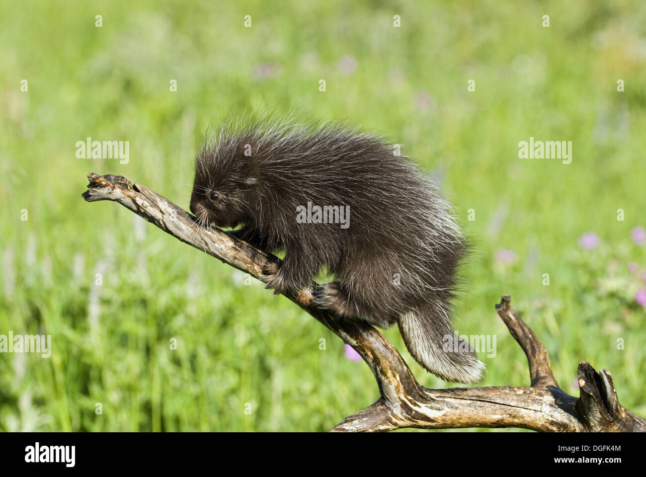 Baby porcupine on branch (Erethizon dorsatum) Stock Photo