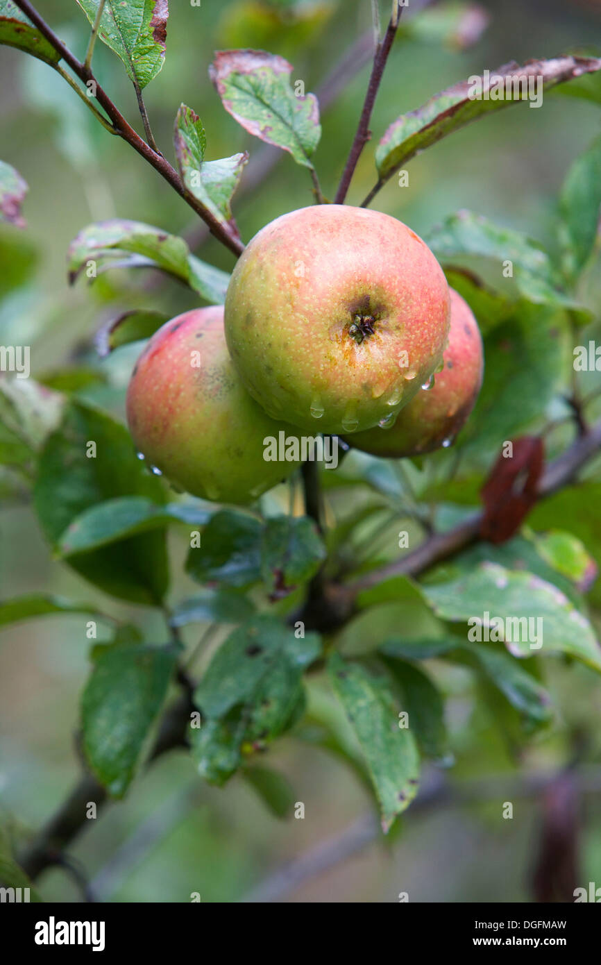 Reineta (local apple cultivar). Guipuzcoa, Euskadi, Spain - Stock Image