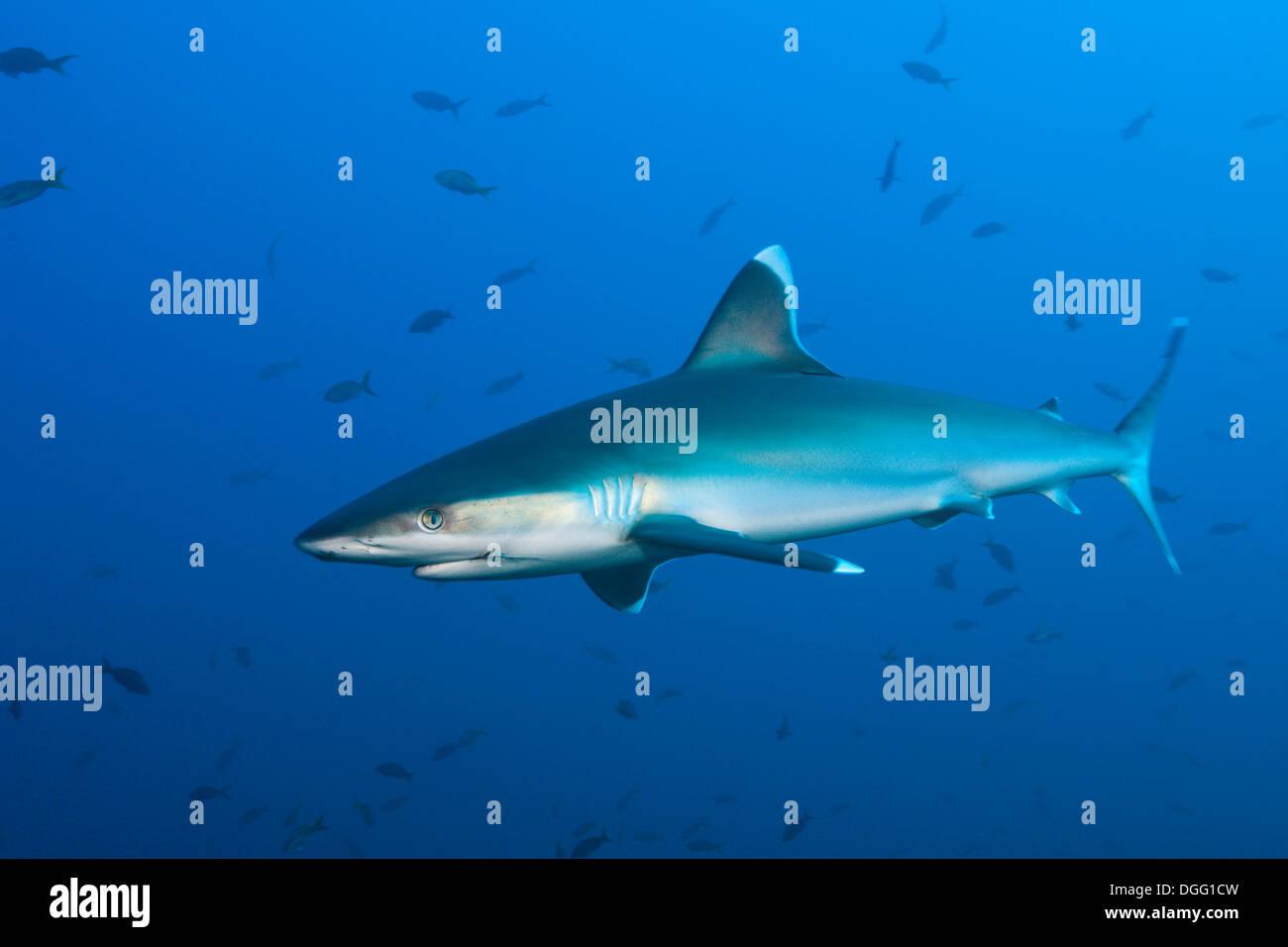Silvertip Shark, Carcharhinus albimarginatus, Roca Partida, Revillagigedo Islands, Mexico - Stock Image