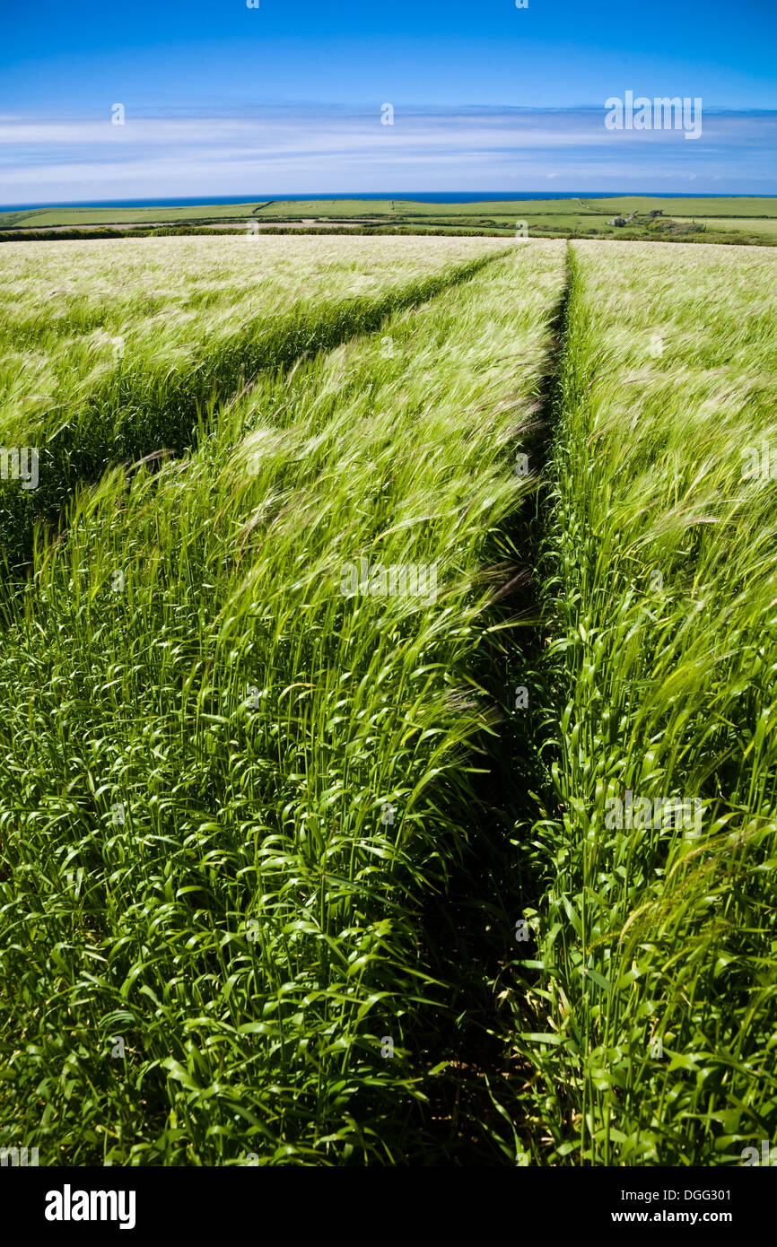 Fresh Barley field with tractor tracks, surrounded by rolling green hills and coastline in Cornwall, UK. - Stock Image