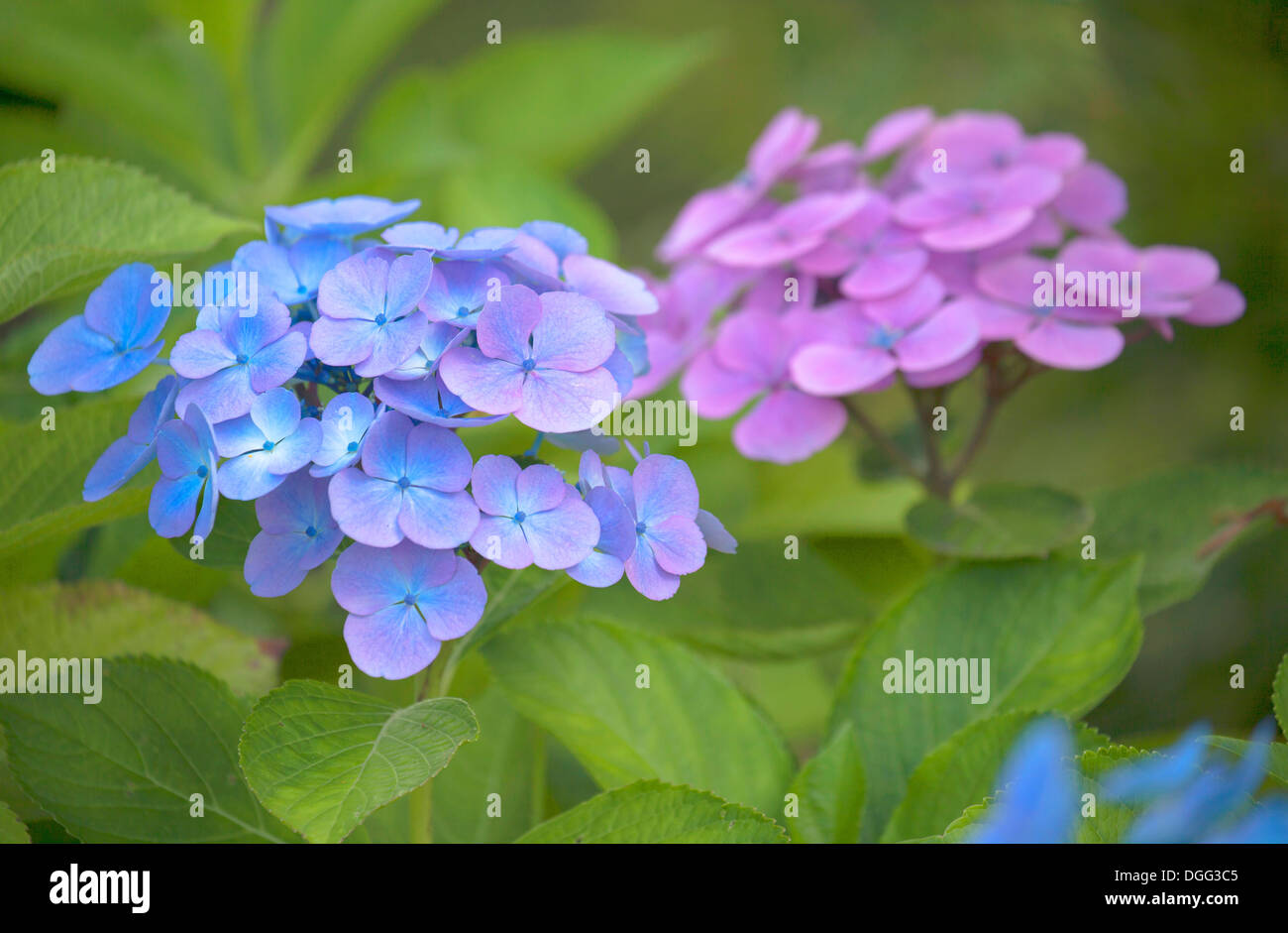 Close up of Hydrangea macrophylla flowers with soft focus and shallow depth of field. - Stock Image