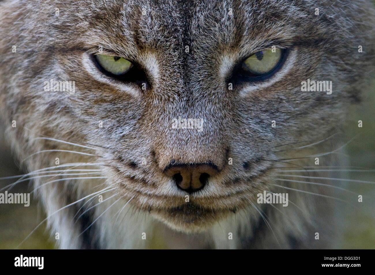 Lynx (Lynx lynx), Canada - Stock Image