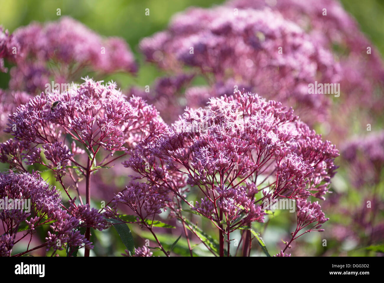 Close up of Joe-Pye Weed flower with shallow depth of field. - Stock Image