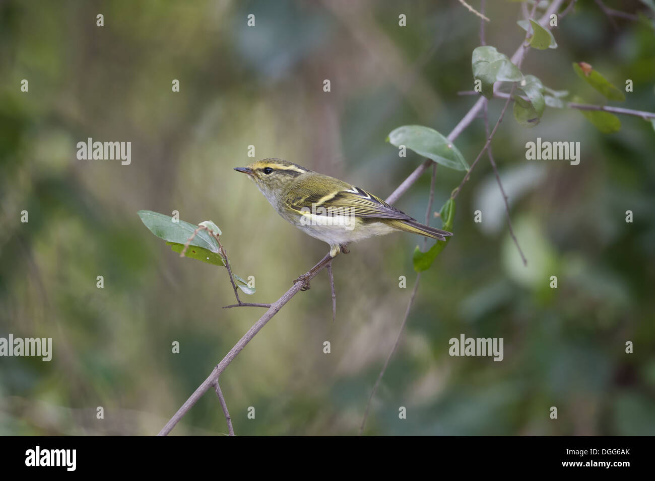 Pallas's Warbler (Phylloscopus proregulus) adult, breeding plumage, perched on twig, Hong Kong, China, January Stock Photo