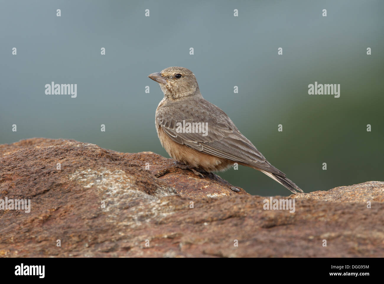 Rufous-tailed Lark (Ammomanes phoenicura) adult, standing on rock, Nandi Hills, Bangalore, Karnataka, India, November - Stock Image