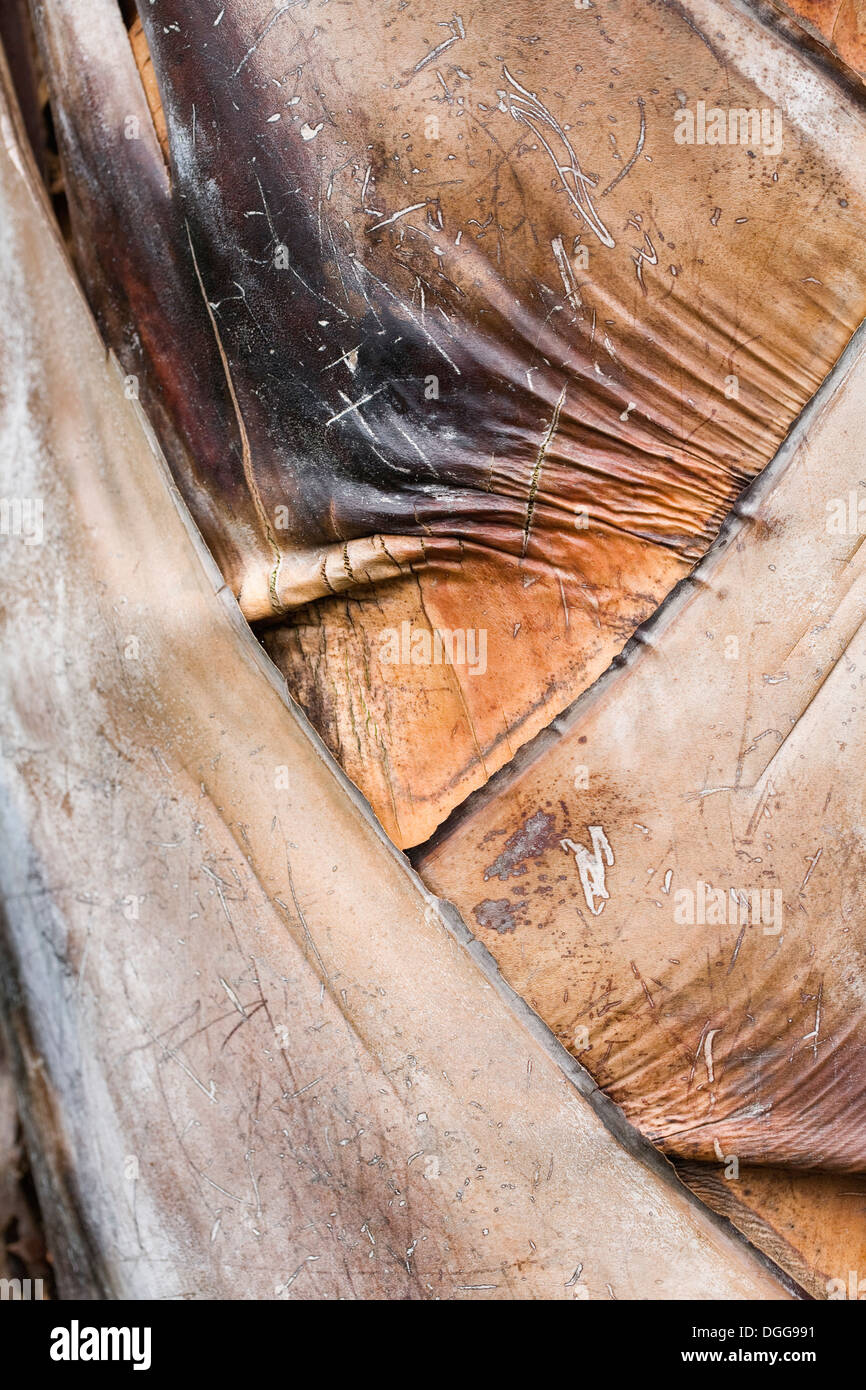 Ravenala madagascariensis. Close up of leaf bases on Traveller's Palm. - Stock Image