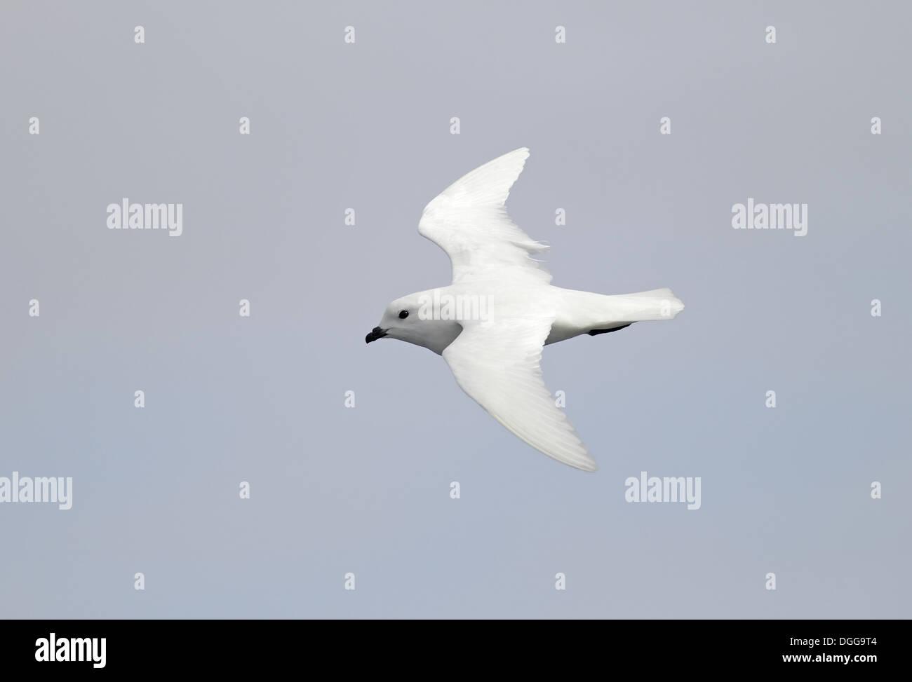 Snow Petrel (Pagodroma nivea) adult, in flight, South Georgia, December - Stock Image