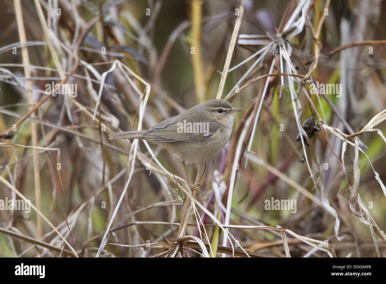 Dusky Warbler (Phylloscopus fuscatus) adult, perched on grass stems, Hong Kong, China, March Stock Photo