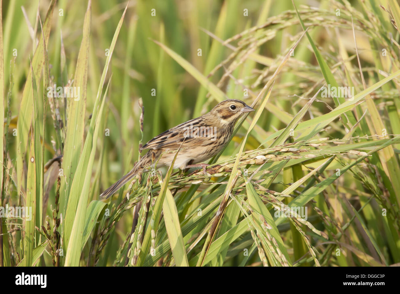 Chestnut-eared Bunting (Emberiza fucata) adult female, feeding on rice seeds, Long Valley, Hong Kong, China, OctoberStock Photo