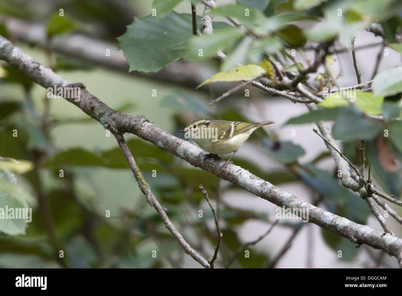 Lemon-rumped Warbler (Phylloscopus chloronotus) adult perched on twig Godavari Botanical Gardens Kathmandu Kathmandu Stock Photo