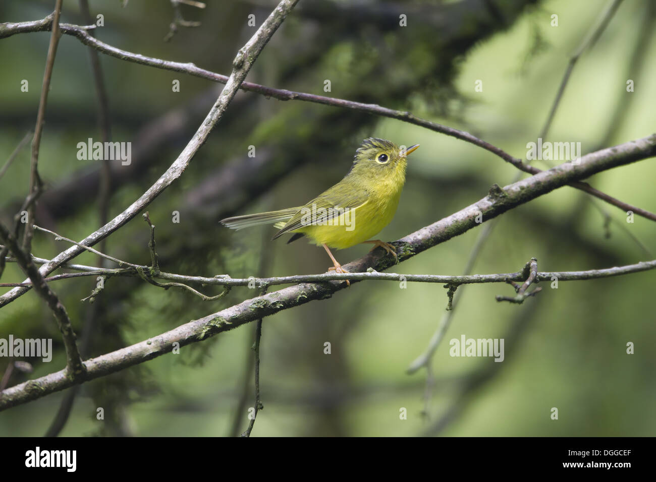 Whistler's Warbler (Seicercus whistleri) adult breeding plumage searching for prey items perched on twig Kathmandu Stock Photo