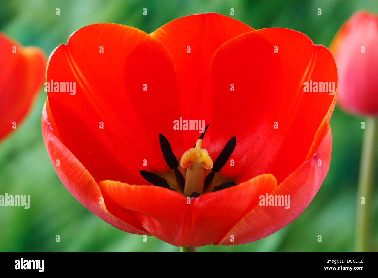 Tulipa 'Ad Rem' Tulip Darwin Hybrid Group April - Stock Image
