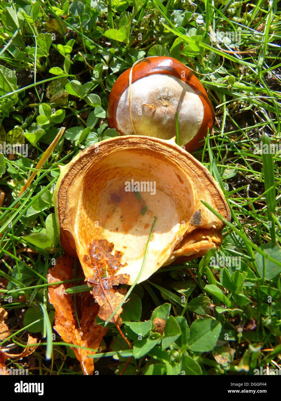 chestnut chestnut fruit fruit tree sleeve brown - Stock Image