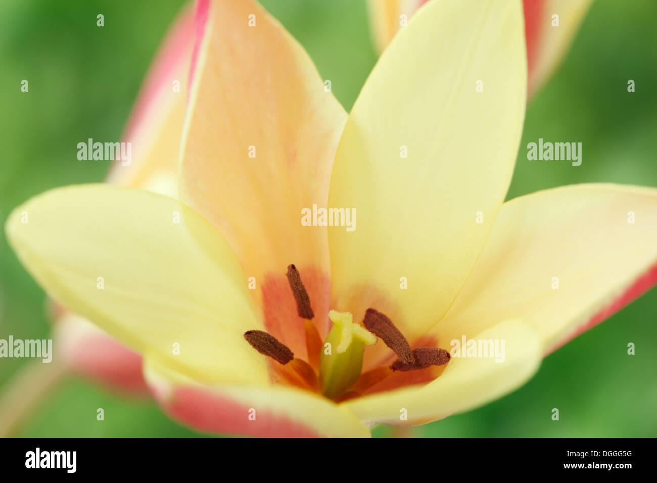 Tulipa clusiana 'Cynthia' AGM Lady tulip Miscellaneous tulip April Stock Photo