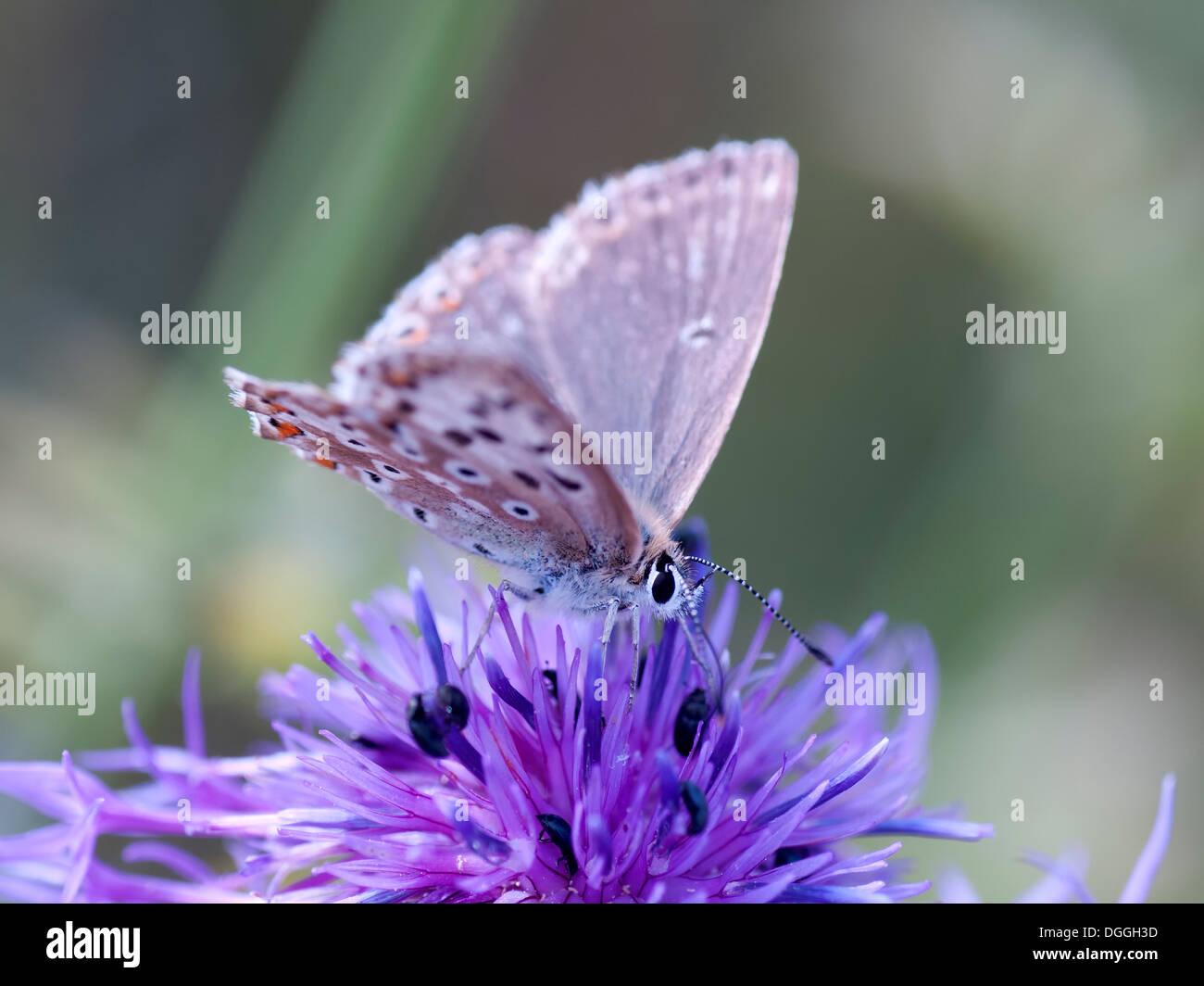A Chalkhill Blue butterfly ( Lysandra coridon ) nectars on a thistle head - Stock Image