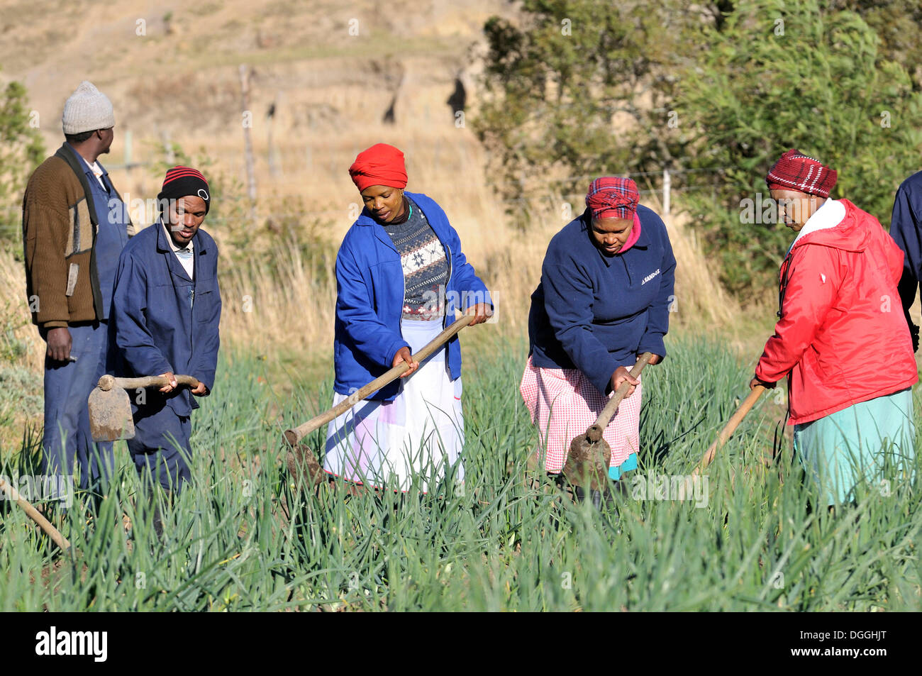 Women and men working in the fields, irrigated fields, Cata-Village in the former Homeland Ciskei, Eastern Cape, South Africa - Stock Image