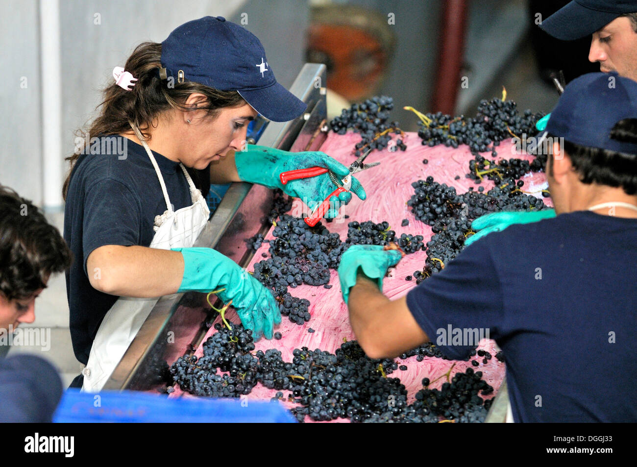 Vintage of Syrah grapes on the Carinae vineyard, before the fermentation process, the grapes are tested for quality and sorted - Stock Image