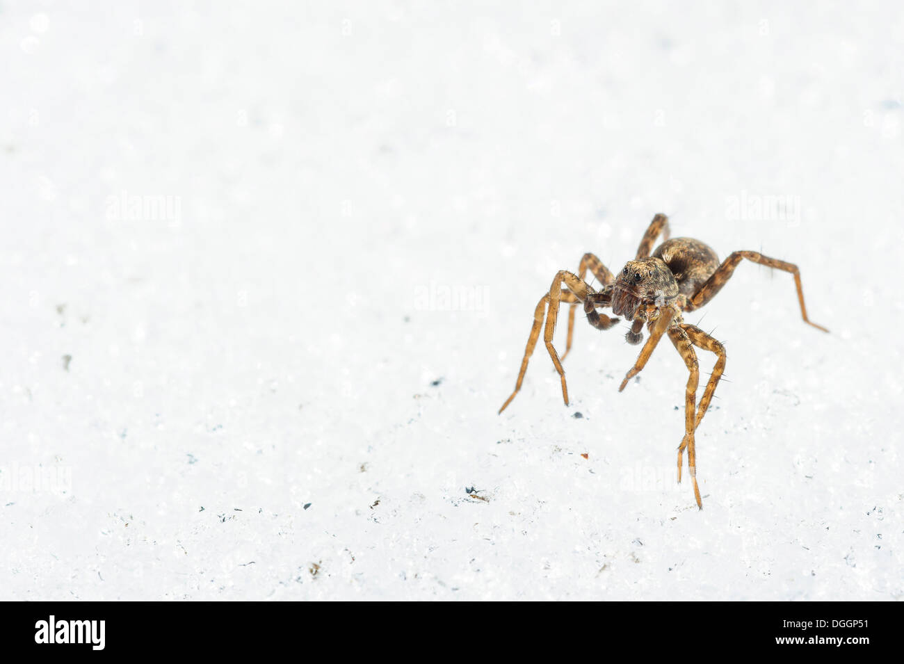Wolfspider (Pardosa sp.) subadult male, walking on snow in late winter, Italy, March - Stock Image