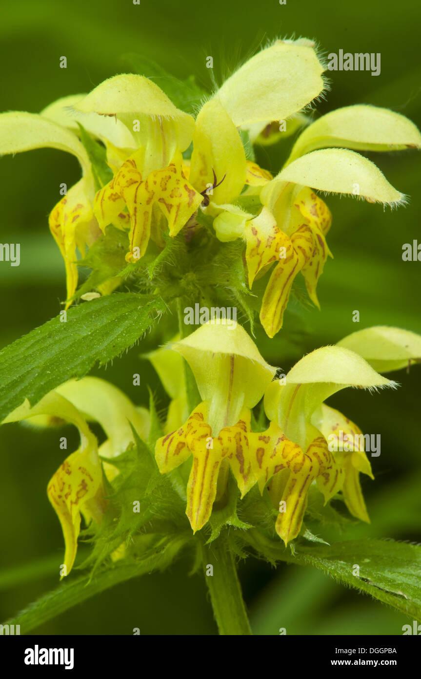 Yellow Archangel (Lamiastrum galeobdolon) close-up of flowers, Kent, England, June - Stock Image