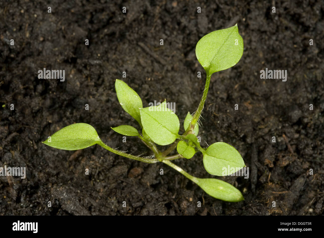 Seedling developing into a young plant of chickweed, Stellaria media, an annual agricultural and garden weed Stock Photo