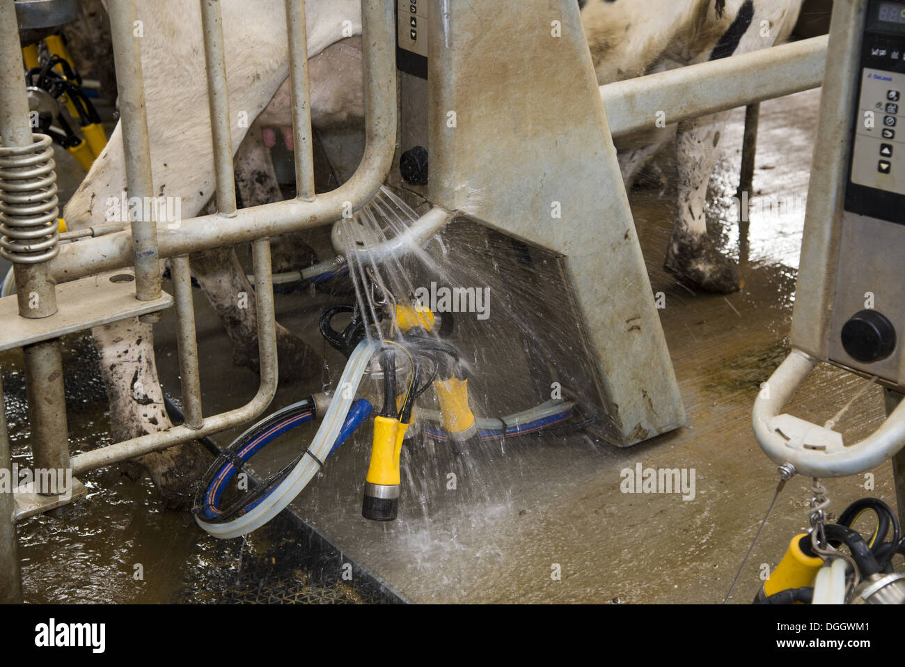 Dairy farming automatic washing of milking clusters before milking Holstein dairy cows in Alpha Laval 50 point rotary parlour - Stock Image