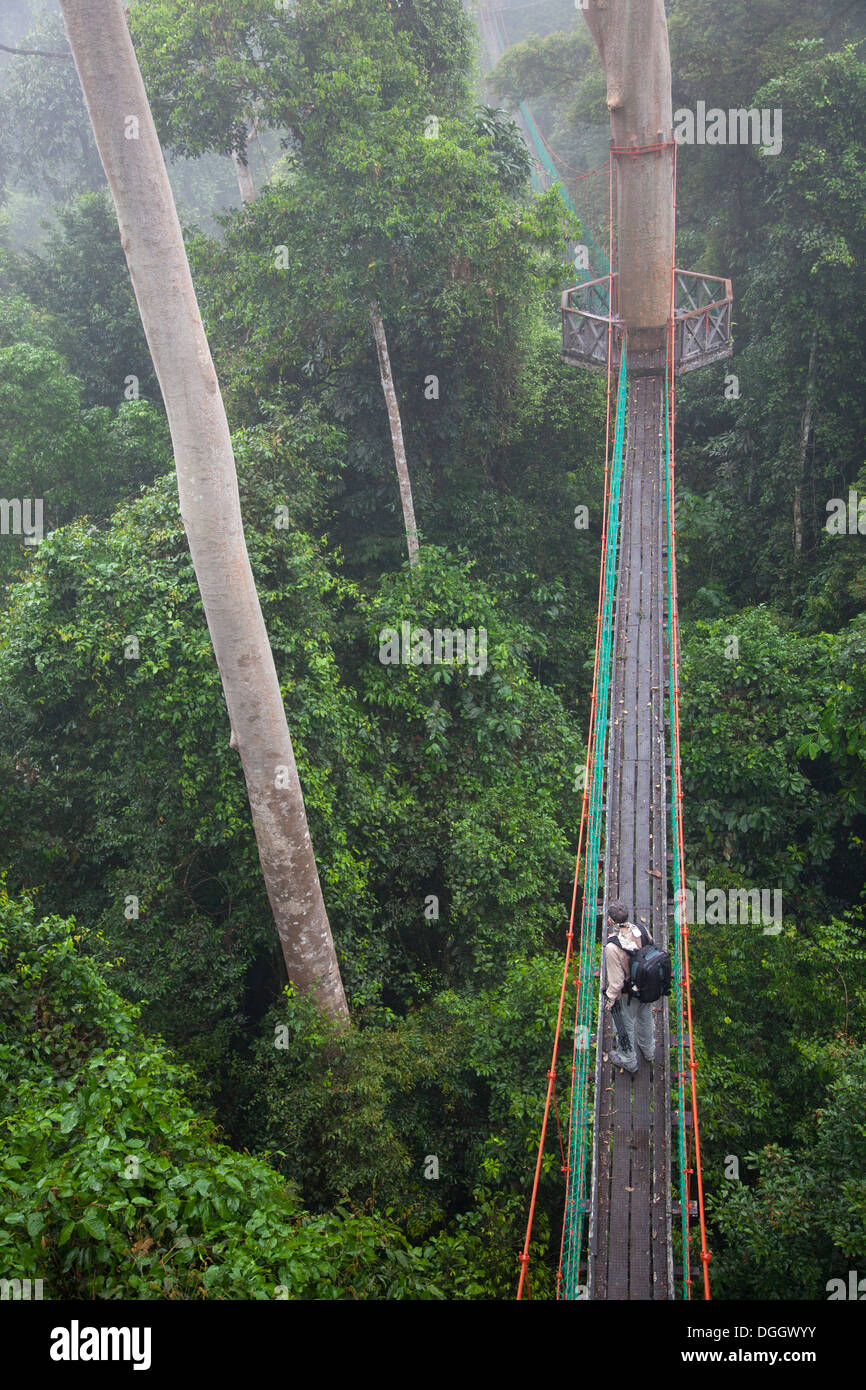 Ecotourist on canopy walkway with observation platform in tropical lowland rainforest at the Borneo Rainforest Lodge - Stock Image