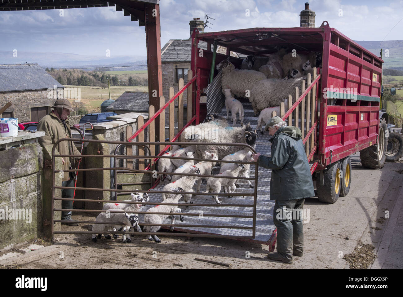 Sheep farming, farmers loading ewes and lambs onto livestock