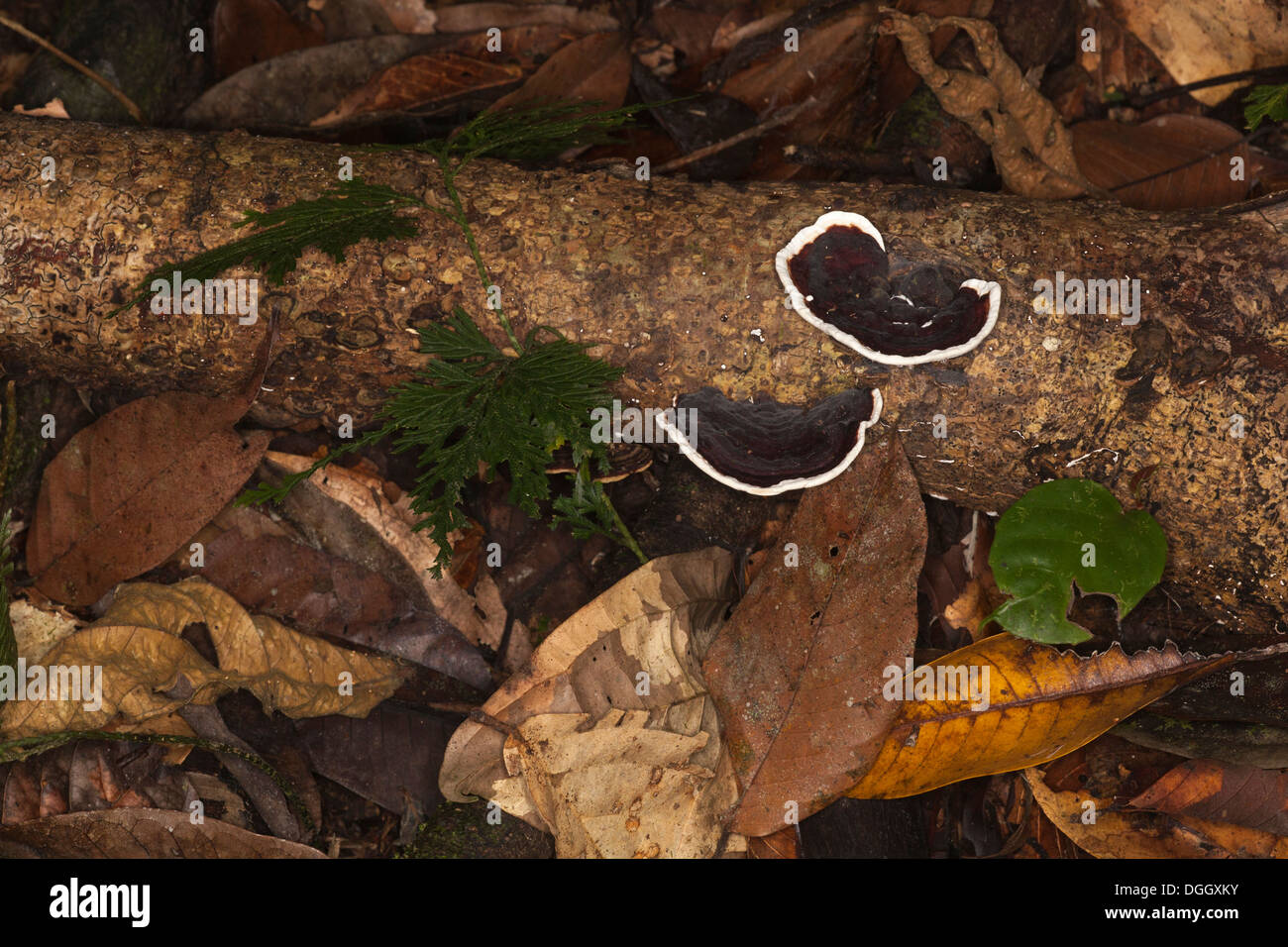 Forest floor ecosystem with bracket fungus growing on a dead tree in an undisturbed lowland tropical rainforest - Stock Image